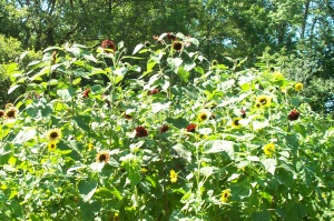 The Sunflowers At Jess and Art's Wedding